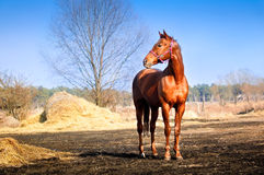 Strong and graceful horse. Strong and beautiful horse in the pasture, bright sunny spring day and the blue sky Stock Photo