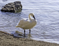 Strong and graceful trumpeter swan standing in shallow water on Royalty Free Stock Photography