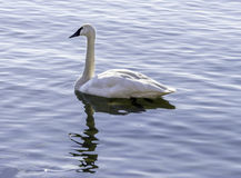 Strong graceful trumpeter swan swimming peacefully on a calm lak Royalty Free Stock Image