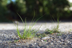 Strong grass growing from asphalt Stock Photography