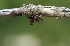 Strong and hard-working ant carries seeds Royalty Free Stock Photo