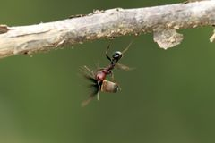 Strong and hard-working ant carries seeds Stock Photo