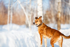 Strong healthy mongrel dog portrait in winter forest. Royalty Free Stock Photography