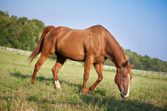 Strong Horse Royalty Free Stock Photography