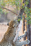 Strong and hungry leopard catch a rock python to eat Royalty Free Stock Image
