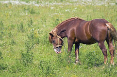 Strong hunky-horse grazing in a meadow Stock Photo