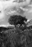 Strong Isolated Mountain Tree In Black And White Stock Photography