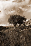 Strong isolated mountain tree in sepia Royalty Free Stock Photo