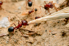 Strong jaws of red ant close-up Royalty Free Stock Image