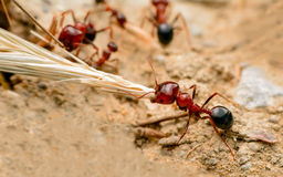 Strong jaws of red ant close-up Stock Image