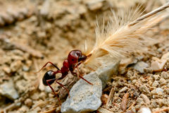 Strong jaws of red ant close-up Stock Photography