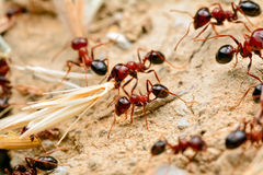 Strong jaws of red ant close-up Royalty Free Stock Photography