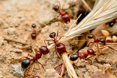 Strong jaws of red ant close-up. – Stock Image Royalty Free Stock Photo