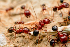 Strong jaws of red ant close-up. – Stock Image Stock Photography