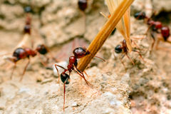 Strong jaws of red ant close-up. – Stock Image Royalty Free Stock Photos