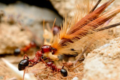 Strong jaws of red ant close-up Stock Photo