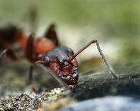 Strong jaws of red ant close-up Stock Photos