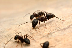 Strong jaws of red ant close-up Stock Images