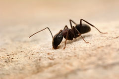 Strong jaws of red ant close-up Royalty Free Stock Photo