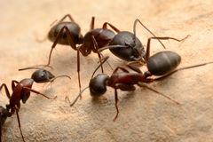 Strong jaws of red ant close-up Royalty Free Stock Images