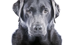 Strong Labrador against White Background Royalty Free Stock Image