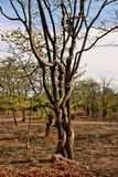 Strong liana tree encircles, Zambia. One Strong liana tree encircles, Zambia Stock Photography