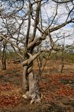 Strong liana tree encircles, Zambia. One Strong liana tree encircles, Zambia Stock Photo