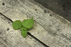 Strong life. Green leaves pass through wooden board Stock Photos