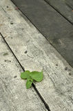 Strong life. Green leaves pass through wooden board Stock Photography