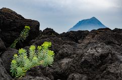 The strong life. A plant surviving in the rocky beach long after the eruption of the volcano Royalty Free Stock Images