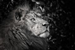 Strong lion in black and white colours Stock Photography
