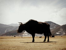 Strong and majestic Yak in Shangrila Royalty Free Stock Photo