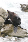 Strong Male Fur Seal on a Rock. Grooming itself, near Kaikoura, Zealand Stock Image