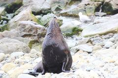 Strong Male Fur Seal sunbathing on a Rock. Near Kaikoura, New Zealand Stock Photo