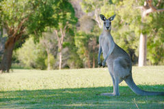 Strong Male Kangaroo Royalty Free Stock Photography