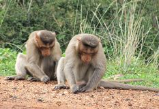 Strong male monkeys Royalty Free Stock Photos