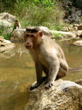 Strong monkey. A strong male monkey is sitting a having a stern look Stock Image