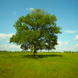 A strong Oak tree standing in a meadow Royalty Free Stock Photos