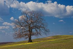 Strong oak under spring sky. Primroses in the grass Stock Photography
