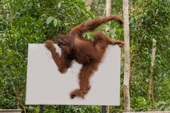 Strong orangutan easily moved along the billboard (Indonesia) Royalty Free Stock Image