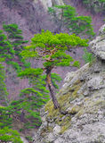 Strong Pine on the Rock in the Beautiful Mountains of Ukraine Stock Photos