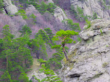 Strong Pine on the Rock in the Beautiful Mountains of Ukraine Stock Photography