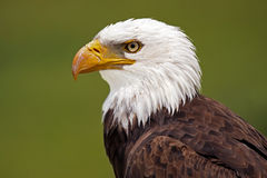 Strong & Proud. Closeup of a Bald Eagle against a blurred background Royalty Free Stock Image