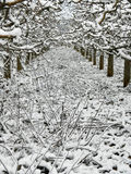 Strong pruned apple orchard under the snow Stock Photo