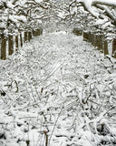 Strong pruned apple orchard under the snow Stock Image