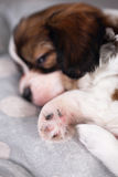 Strong puppy sleep Stock Photo