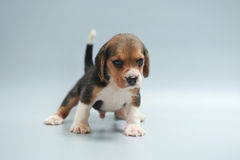 Strong pure breed beagle puppy Royalty Free Stock Images