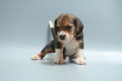 Strong pure breed beagle puppy Stock Photography