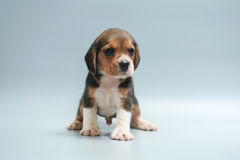 Strong pure breed beagle puppy Royalty Free Stock Image