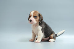Strong pure breed beagle puppy Stock Photo